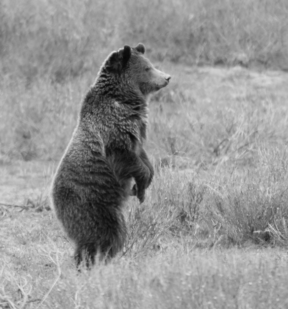 Grizzly standing bandw