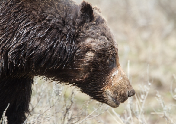 Grizzly with scars close up