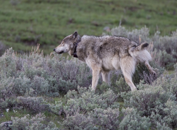 Male wolf scent marking