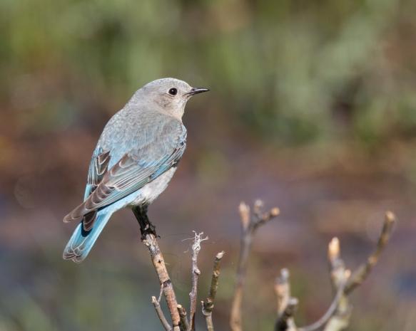 Mountain Bluebird female 1