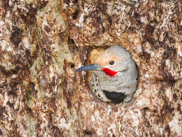 Northern Flicker male in nest cavity