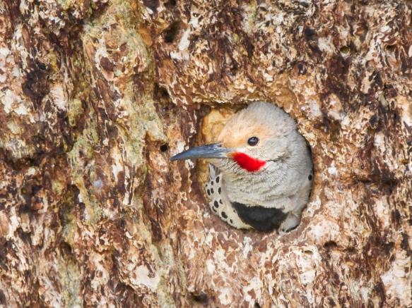 Northern Flicker male in nest cavity