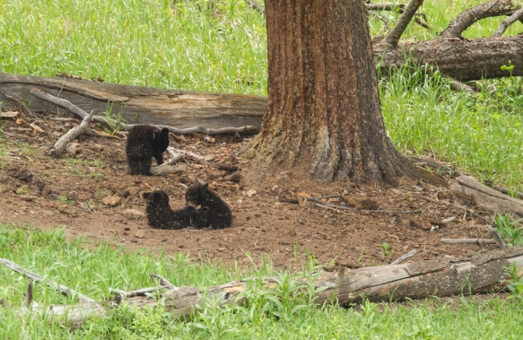 Three cubs playing