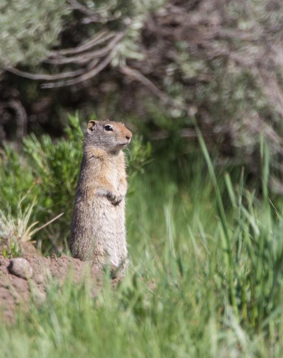Uinta Ground Squirrel on alert