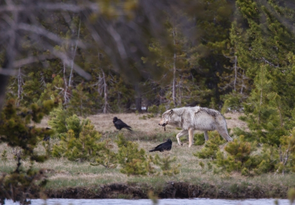 wolf carrying morsel from carcass