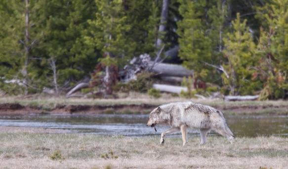 wolf departing carcass