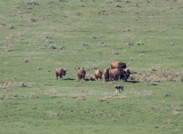 wolf escorted away from bison carcass