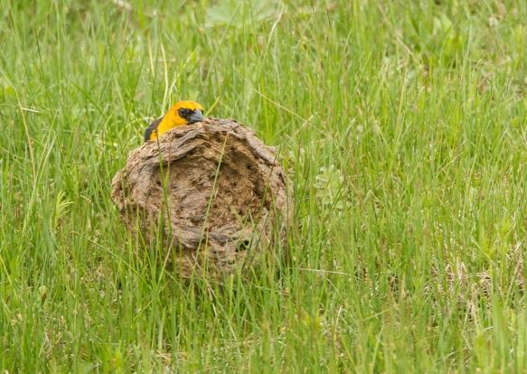 Yellow-headed Blackbird flipping bison chip 1
