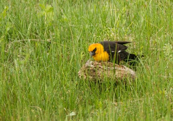 Yellow-headed Blackbird flipping bison chip 2