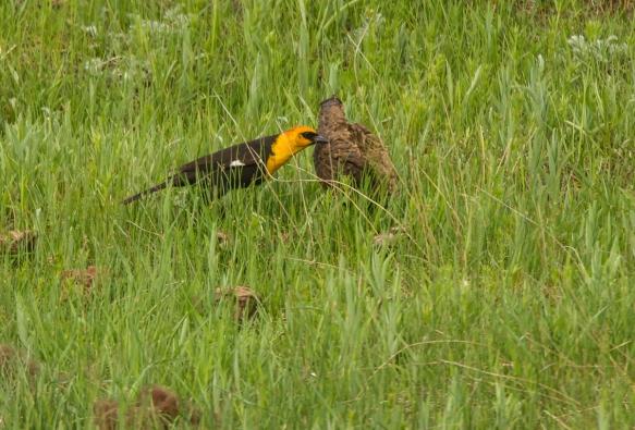 Yellow-headed Blackbird flipping bison chip