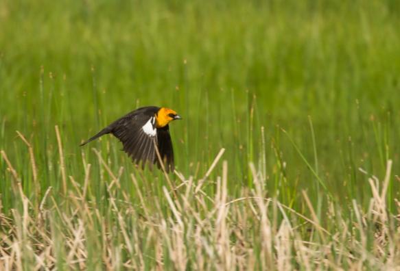 Yellow-headed Blackbird in flight
