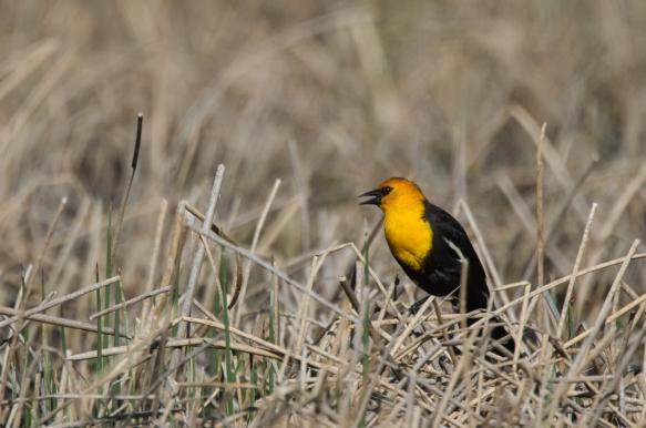 Yellow-headed Blackbird in marsh 1