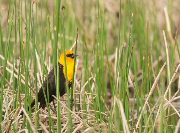 Yellow-headed Blackbird in marsh
