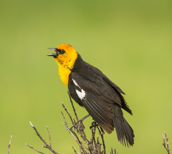 Yellow-headed Blackbird on branch 1