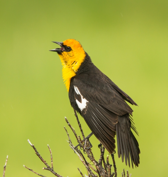 Yellow-headed Blackbird on branch 2