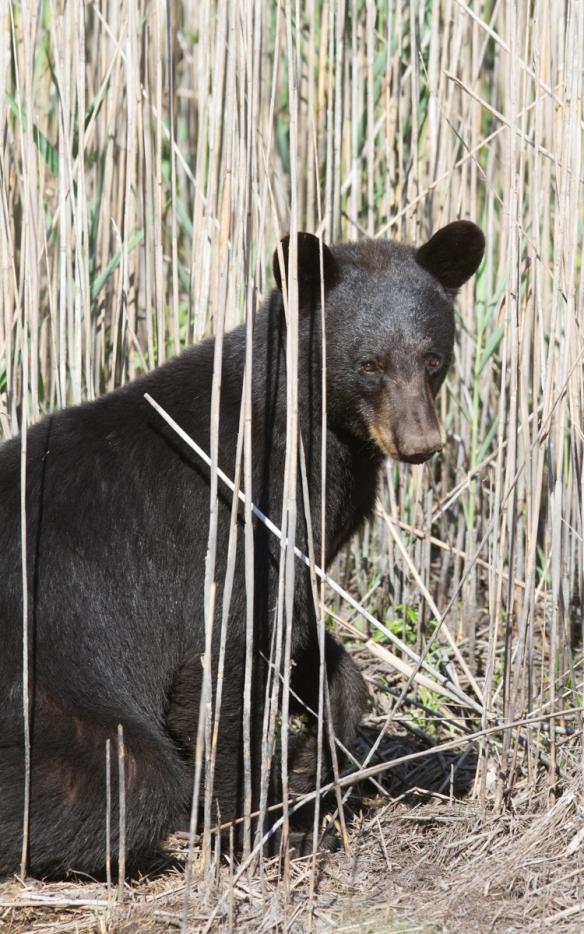 Bear in reeds 1