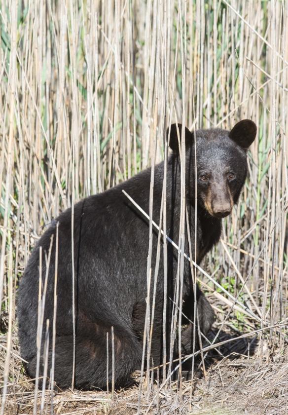 Bear in reeds