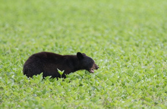 Bear in soybean field 2