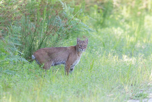 Bobcat behind my car
