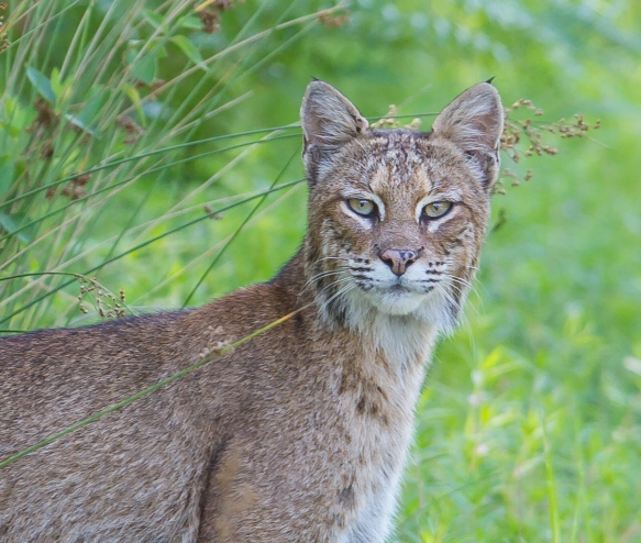 Bobcat close up