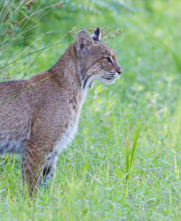 Bobcat looking straight crop