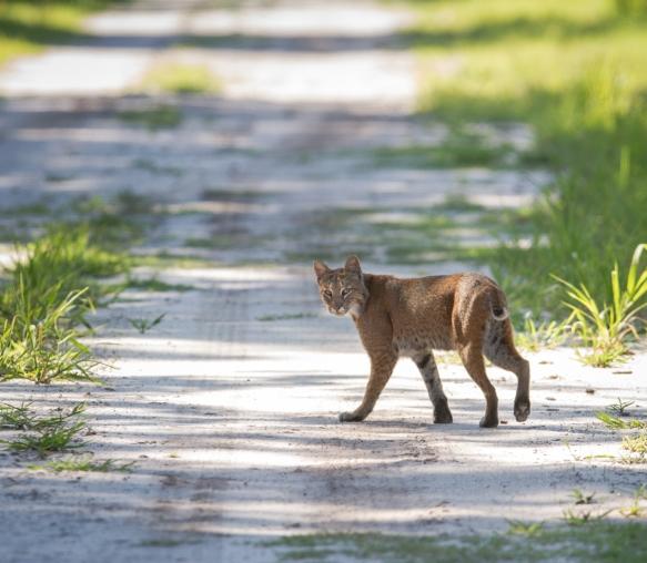 Bobcat walking away from me in road 1