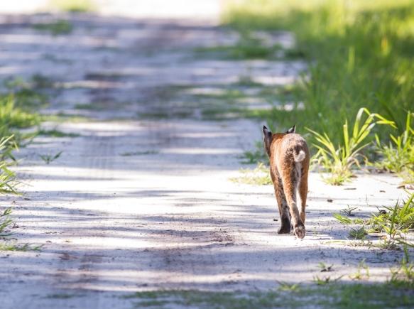 Bobcat walking away from me in road