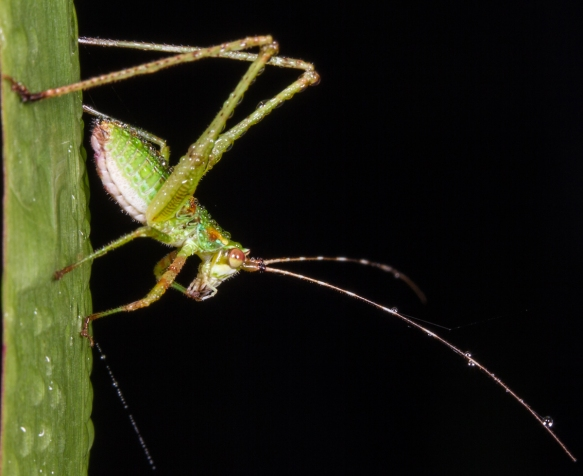 Bush Katydid nymph 2