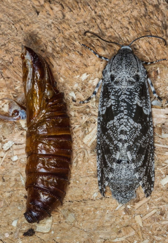 C arpentorworm Moth and pupal skin