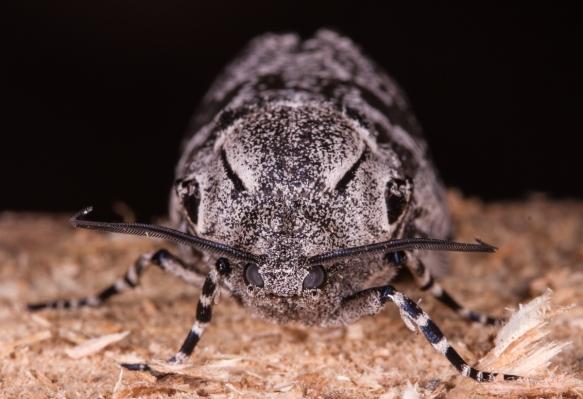 C arpentorworm Moth head on