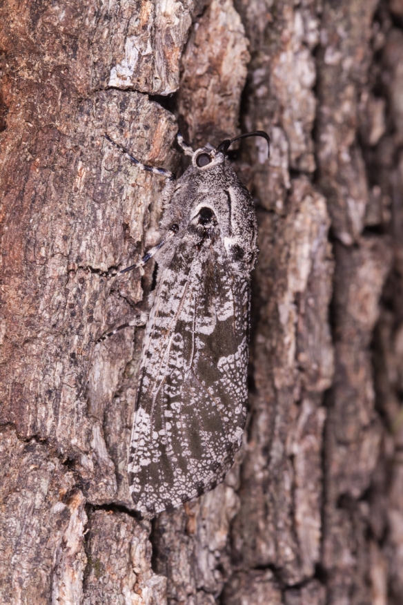 C arpentorworm Moth on bark