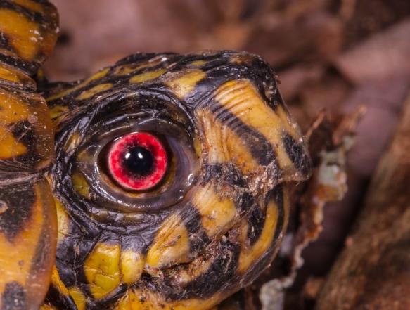 eye of male box turtle