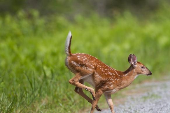 Fawn running
