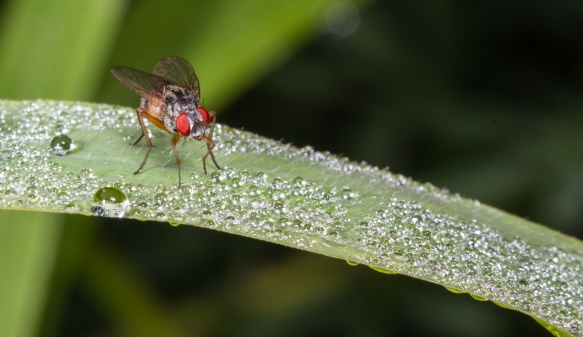 Flesh Fly on grass