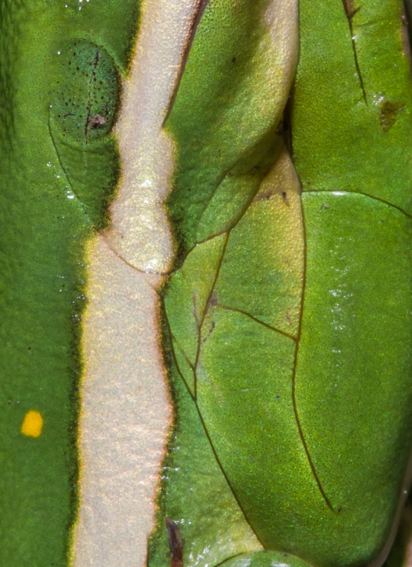 Green Treefrog closeup
