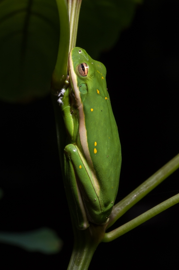 Green Treefrog dark