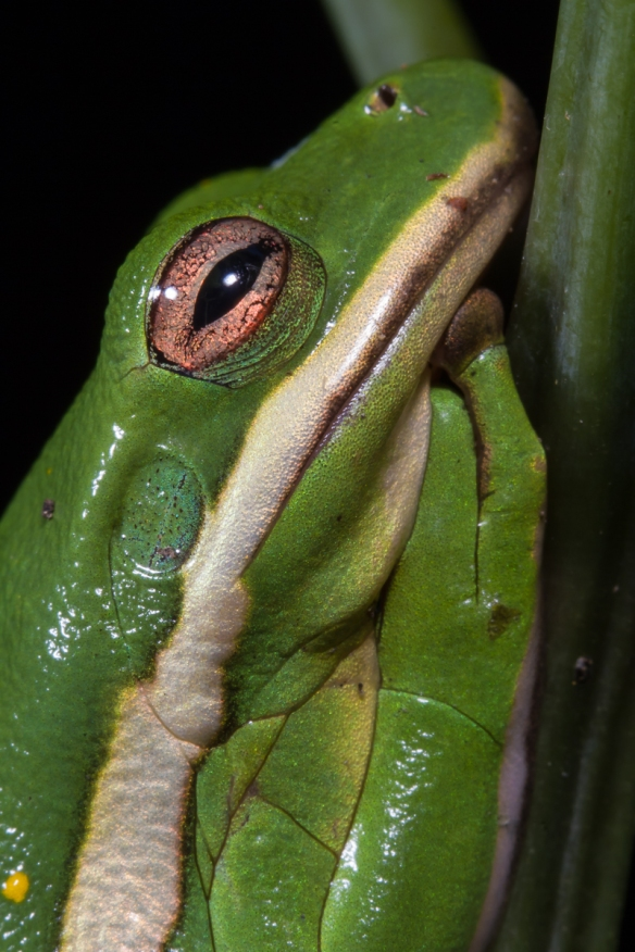 Green Treefrog head