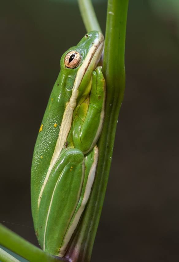 Green Treefrog side view