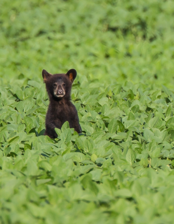 One cub standing crop