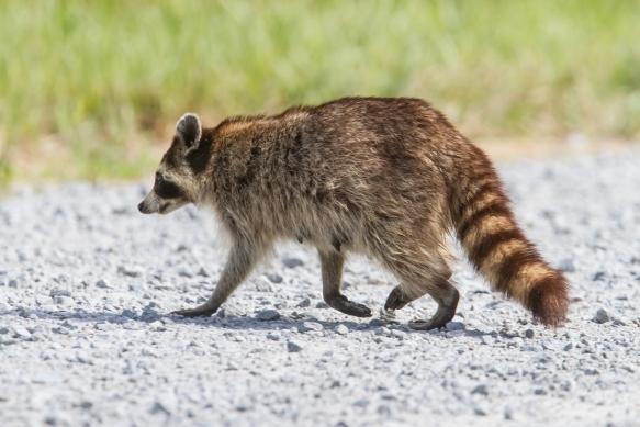Raccoon crossing road