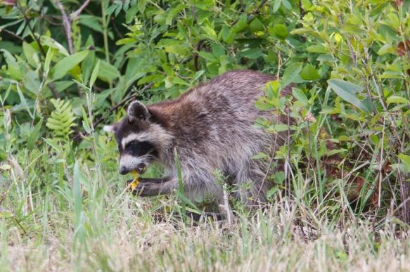 Raccoon eating turtle egg 1