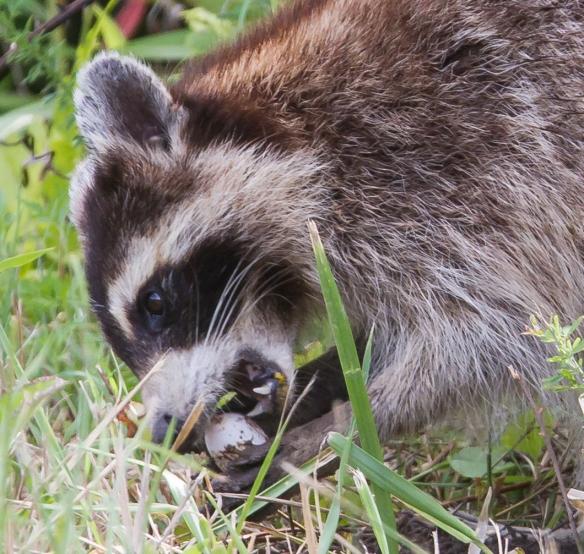 Raccoon eating turtle egg