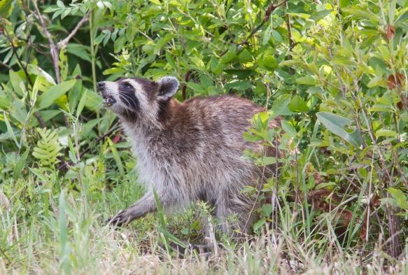 Raccoon eating turtle egg lifting its head