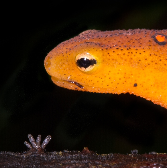 Red-spotted Newt close up of eye 1