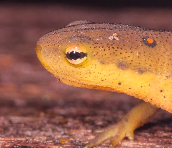 Red-spotted Newt close up of eye