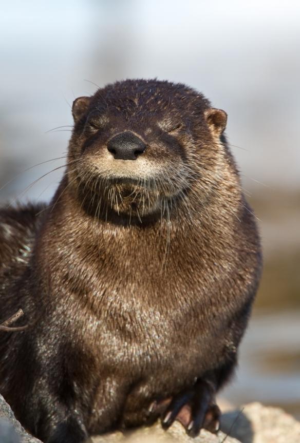 River Otter at Lake Mattamuskeet