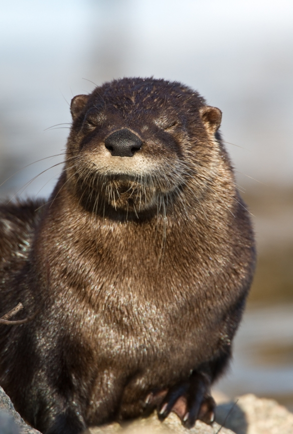 River Otter at Lake Mattamuskeet