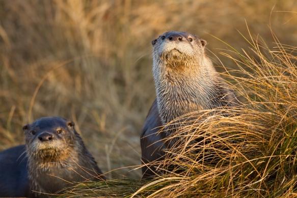 River Otter pair