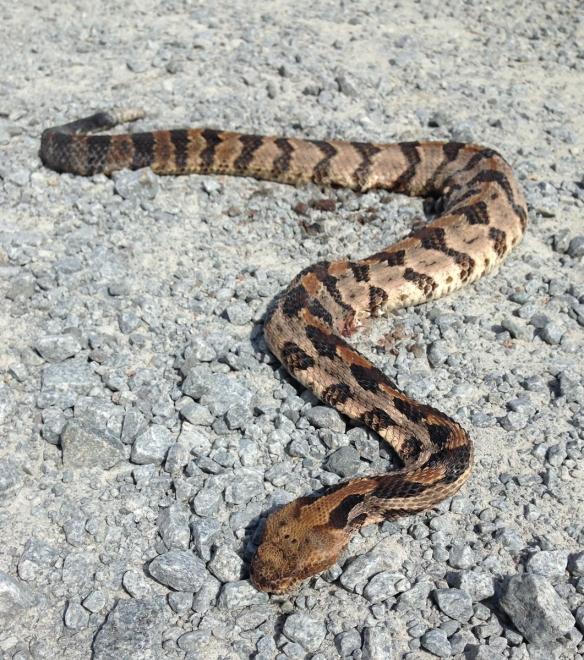 Roadkill rattlesnake