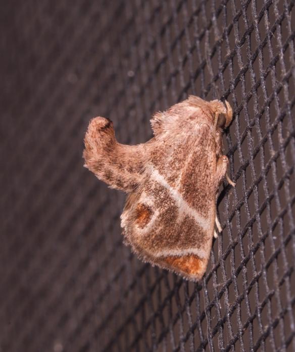 Shagreened Slug Moth